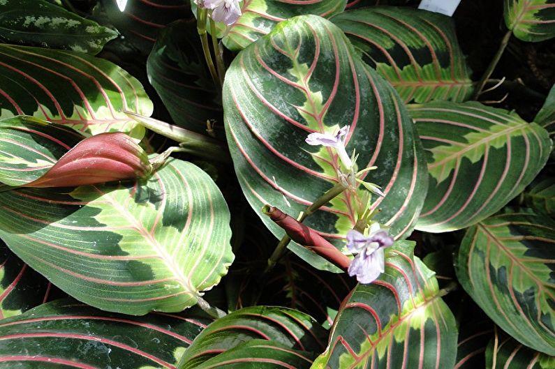Цветок маранта фото уход